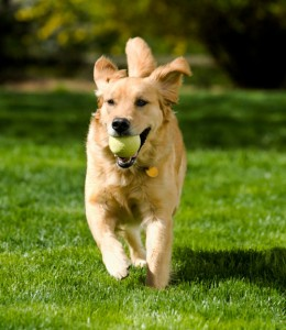 How-to-Training-Your-Dog-to-Play-Fetch